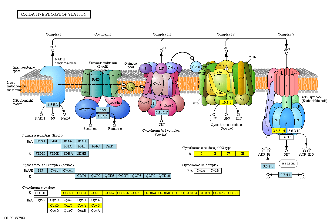 Electron Transport Chain and Energy Production