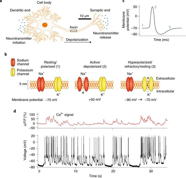 Advanced Review Labelling of neuronal receptors and transporters with quantum dots.